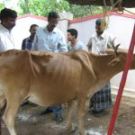 treating a cow