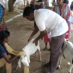 treating goats